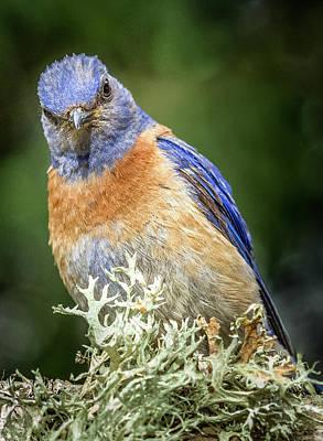 Photograph - Bluebird Attitude by Jean Noren