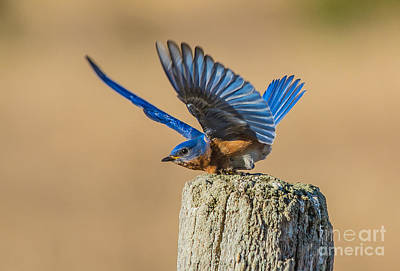 Photograph - Bluebird Bow by Cheryl Baxter