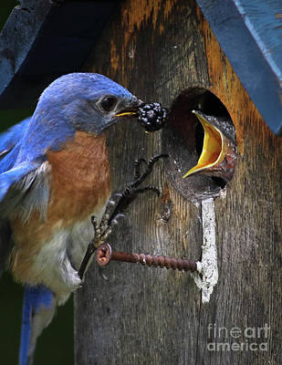Photograph - Bluebird Breakfast by Douglas Stucky
