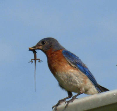 Photograph - Bluebird Bringing Home Lunch by Jeanne Kay Juhos