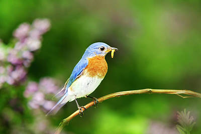 Photograph - Bluebird by Christina Rollo