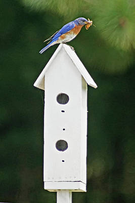 Photograph - Bluebird Dad by Judy Johnson