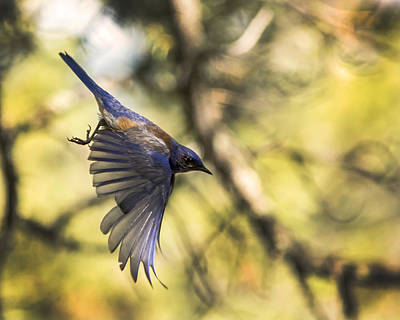 Photograph - Western Bluebird by Erica Kinsella
