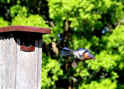 Photograph - Bluebird Exit by Allen Nice-Webb