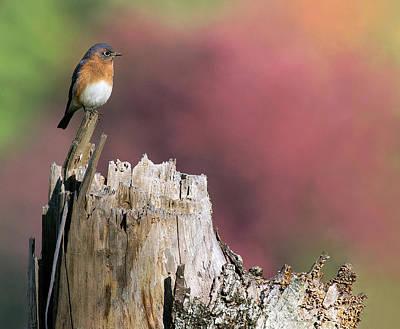 Photograph - Bluebird Fall Perch by Art Cole