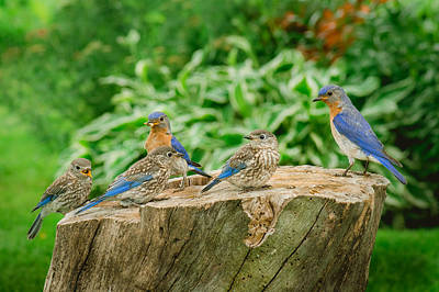 Photograph - Bluebird Family Outing by Bill Pevlor