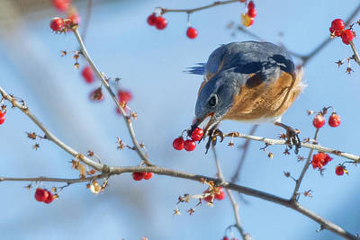 Bluebird Feeding Art Print