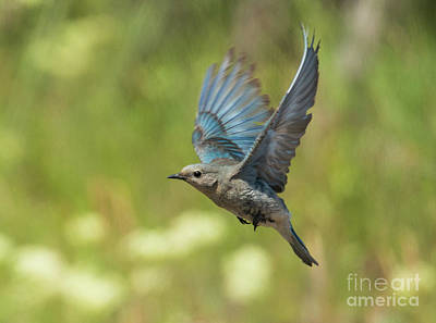 Hover Wall Art - Photograph - Bluebird Hover by Mike Dawson