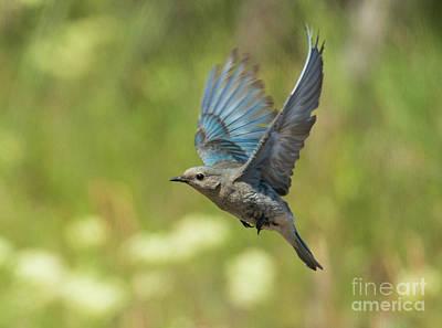 Bluebird Hover Art Print by Mike Dawson