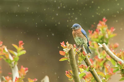 Photograph - Bluebird In Gentle Rain by Jemmy Archer