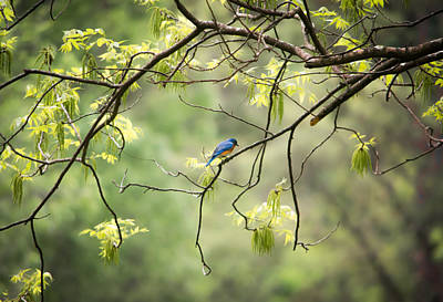 Photograph - Bluebird In The Spring by Shelby  Young