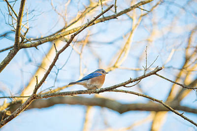 Photograph - Bluebird In Tree by Sharon Popek