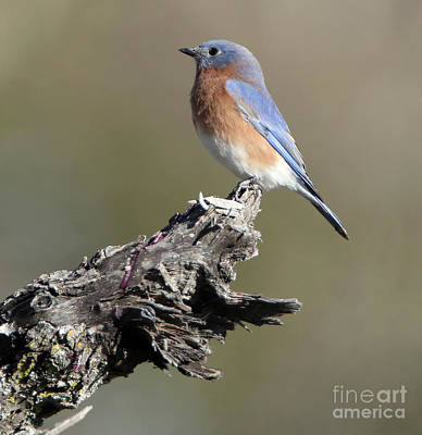 Photograph - Bluebird In Waiting by Elizabeth Winter