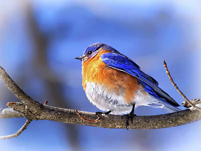 Photograph - Bluebird In Winter by Carolyn Derstine