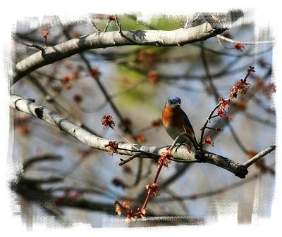 Photograph - Bluebird by Jill Lang