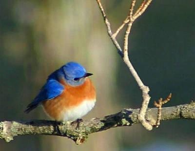 Bluebird Digital Art - Bluebird by Kristin Elmquist