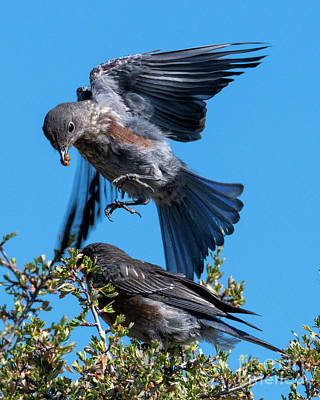 Photograph - Bluebird Leapfrog by Mike Dawson