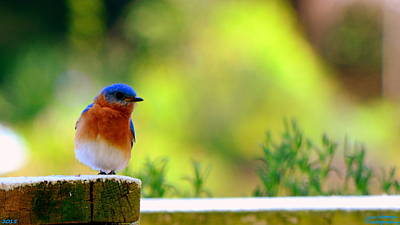 Photograph - Bluebird by Lisa Wooten