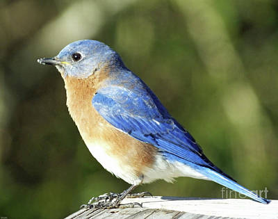 Photograph - Bluebird by Lizi Beard-Ward