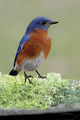 Photograph - Bluebird - Male-sketch by Ericamaxine Price
