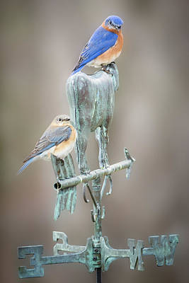 Photograph - Bluebird Mates by Bill Wakeley