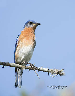 Photograph - Bluebird by Mike Fitzgerald