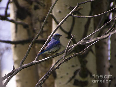 Photograph - Bluebird Of Happiness by Louise Magno
