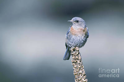Nikki Vig Royalty-Free and Rights-Managed Images - Bluebird of Happiness by Nikki Vig