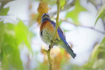 Photograph - Bluebird On A Branch by Diana Haronis
