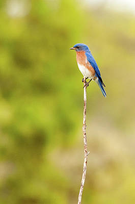 Photograph - Bluebird On A Stick by Steve Stuller