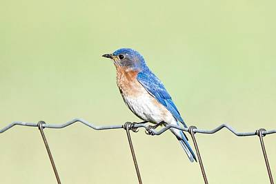 Photograph - Bluebird On A Wire by Michael Peychich