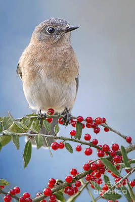 Bluebird Of Happiness Photograph - Bluebird On Holly Branch by Bonnie Barry