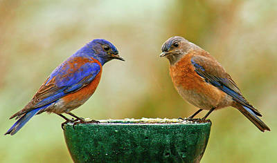 Photograph - Bluebird Pair by Jean Noren