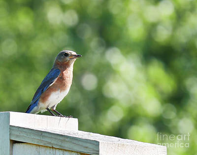 Photograph - Bluebird Patrol by Anita Oakley