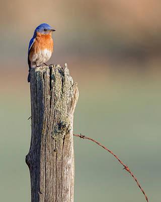 New England Farm Photograph - Bluebird Portrait by Bill Wakeley