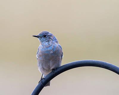 Photograph - Bluebird Portrait by John Brink