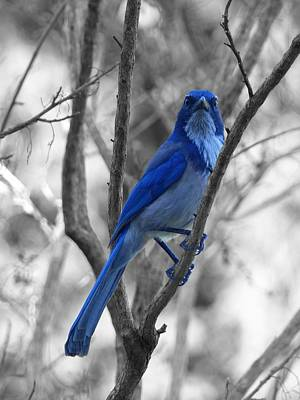 Photograph - Bluebird by Rand