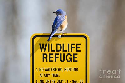 Photograph - Bluebird  by Ricky L Jones