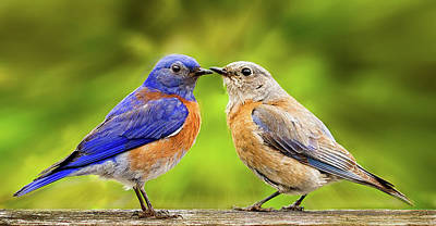 Photograph - Bluebird Romance by Jean Noren
