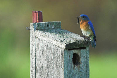 Art Print featuring the photograph Bluebird by Steve Stuller