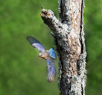 Photograph - Bluebird Swoop by Art Cole