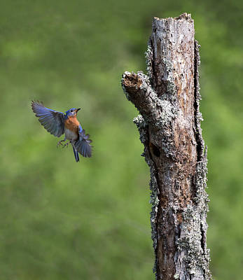 Photograph - Bluebird Tree Ballet by Art Cole
