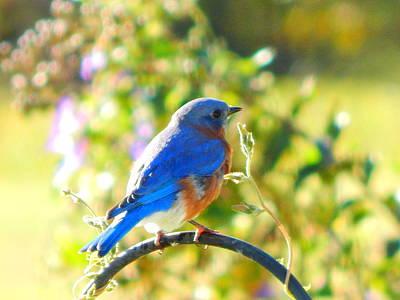 Photograph - Bluebird by Virginia Kay White