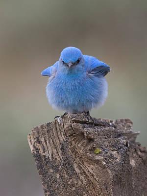 Bluebird With An Attitude Art Print by Bruce Benson