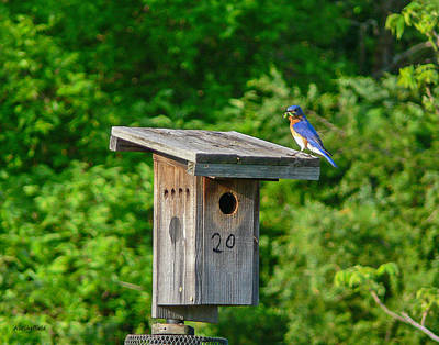 Photograph - Bluebird With Grub by Allen Sheffield