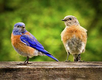 Photograph - Bluebirds by Jean Noren