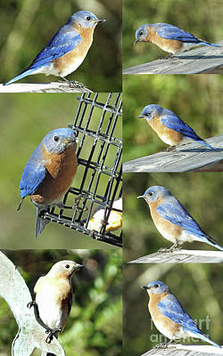 Photograph - Bluebirds by Lizi Beard-Ward