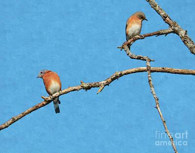 Photograph - Bluebirds On A Crazy Limb by Anita Oakley
