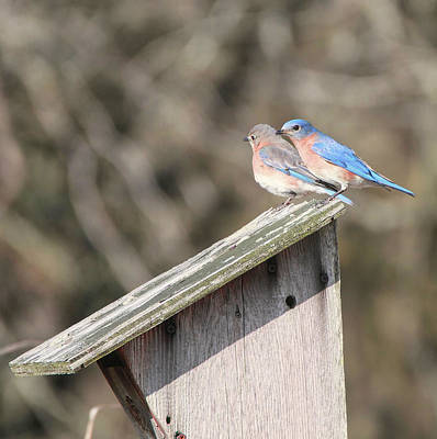 Photograph - Bluebirds On Bluebird House by Dan Sproul