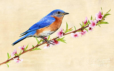 Bluebird Photograph - Bluebird's Spring by Laura D Young